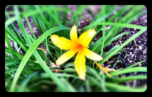Santa Fe Yellow Lilly